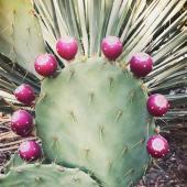 cactuscherry
