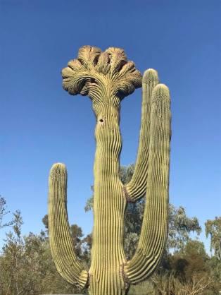 cactuscrown